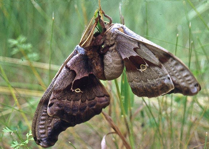 polyphemus-moths-2brz