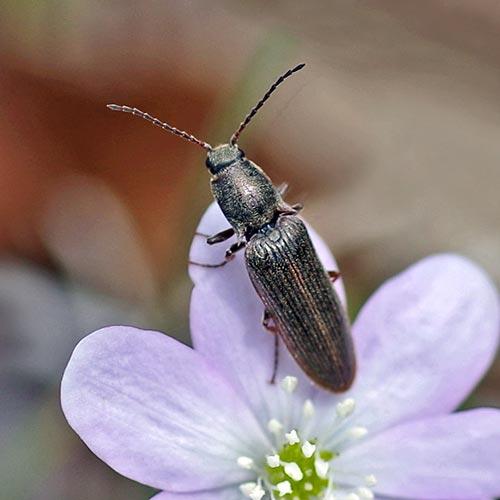 click-beetle-2