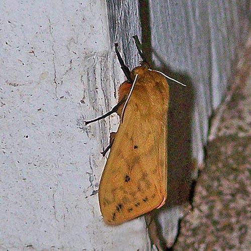 Isabella-tgr-moth08-1