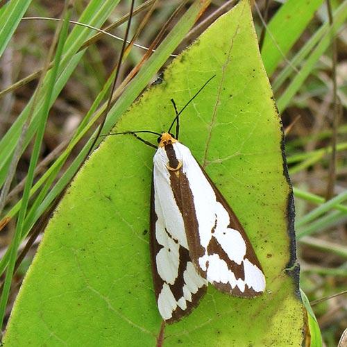 haploa-tiger-moth09--6rz
