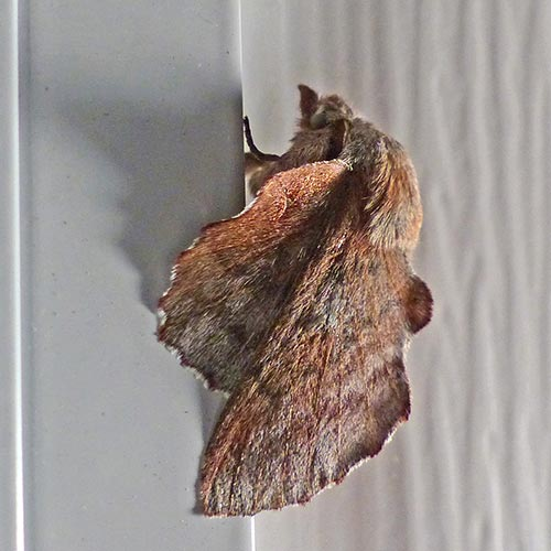 lappet-moth15-2