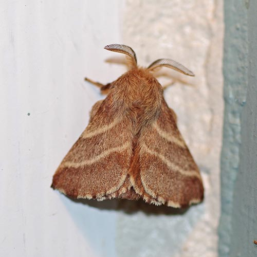 tent-caterpillar-moth15-7 & Lappet Moth (Family Lasiocampidae) - Field Station
