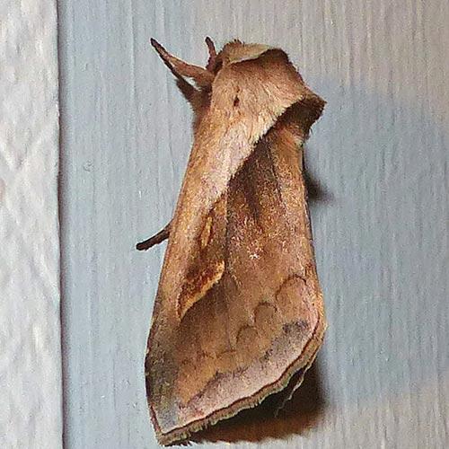 Headless Moths I - Cattail Borer (Family Noctuidae) | Field