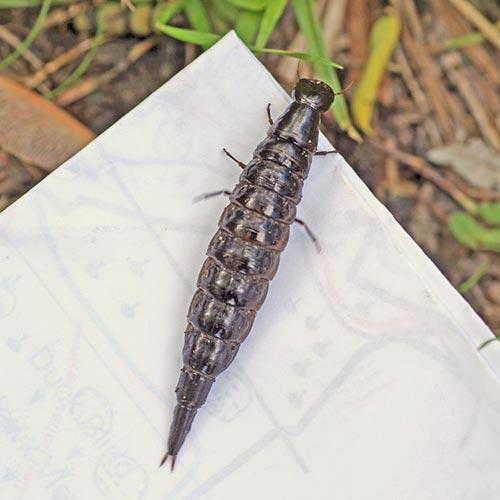 a-dytiscid-larva15-5rz
