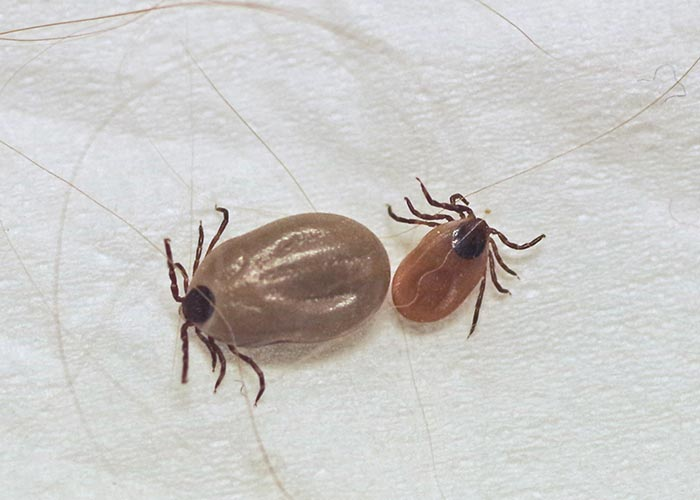 What Does A Brown Dog Tick Look Like