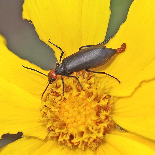 Blister Beetles (Family Meloidae) | Field Station