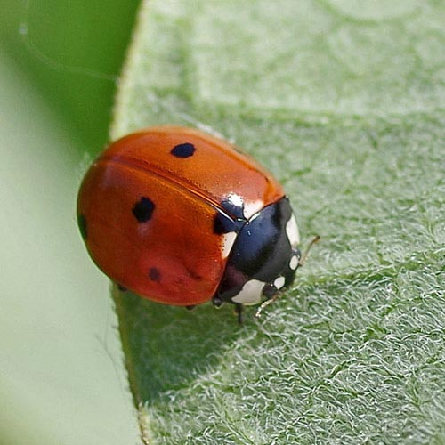 Not predators of the asian lady beetle