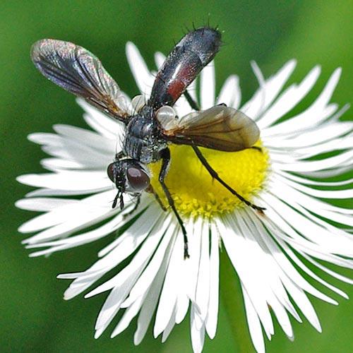 Tachinid-cylindromyia