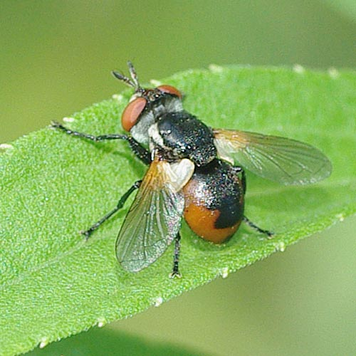 Tachinid Gymnosoma