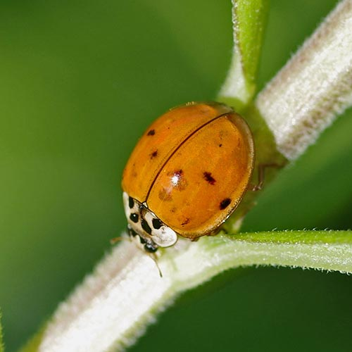 Opinion Asian ladybug genus species name