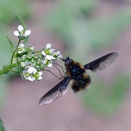 bee-fly16-1-500