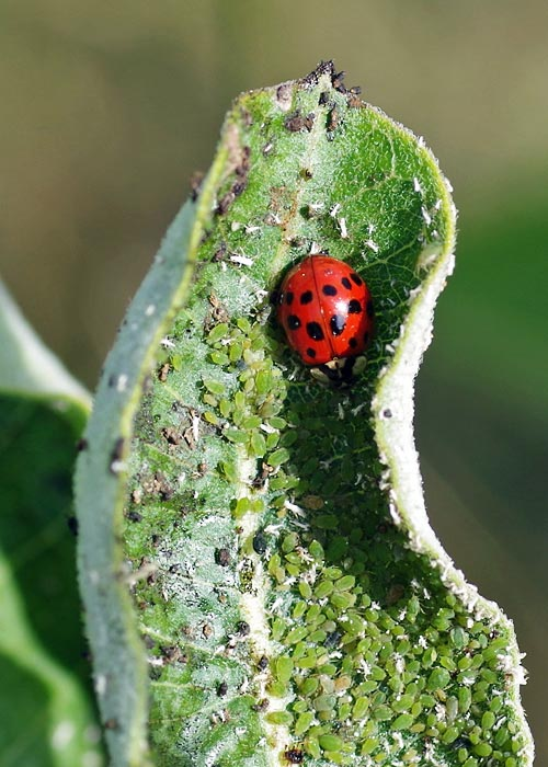 ladybug-asian16-7rz-500