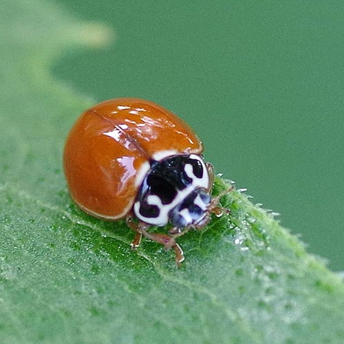 Think predators of the asian lady beetle consider, that