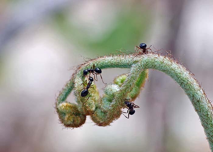 Ants on Fern 1