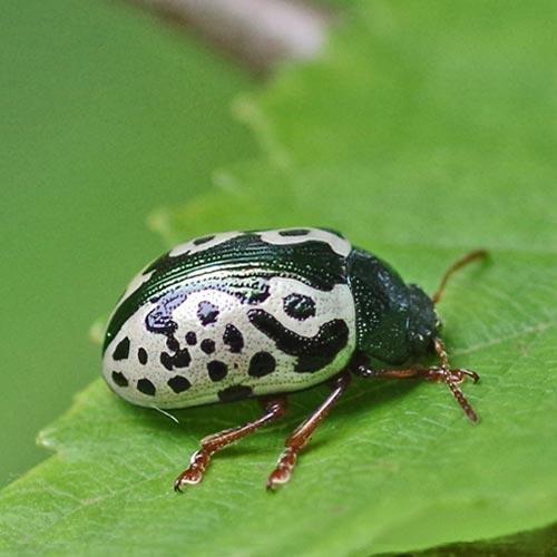 Calligrapha Beetle