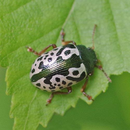 Calligrapha Beetle-2
