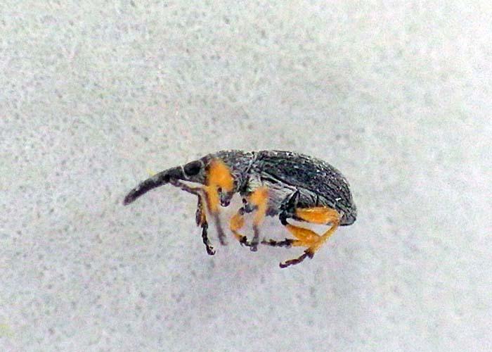 hollyhock weevil 1