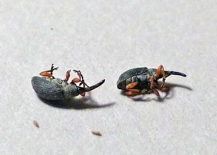 hollyhock weevil 2