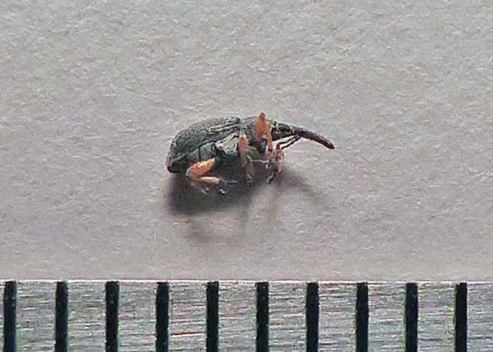hollyhock weevil 3