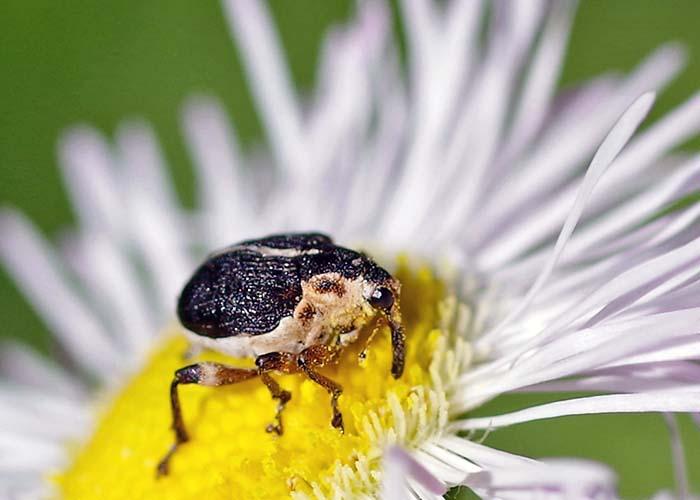 iris weevil 1
