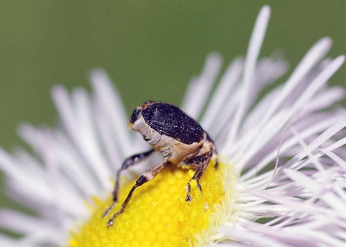 iris weevil 2