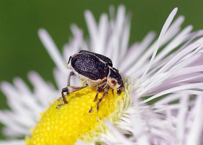 iris weevil 3