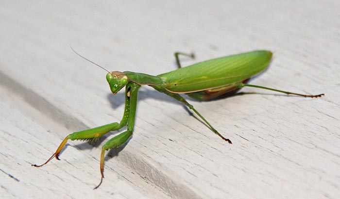 praying-mantis-euro-2