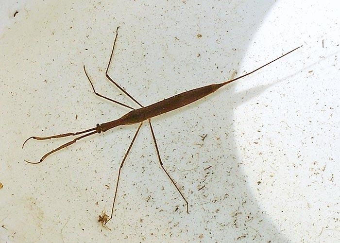water-scorpion-2