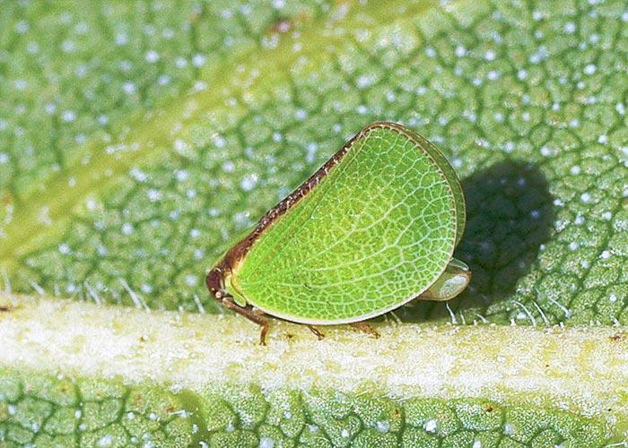 acanalonia-planthopper12-1