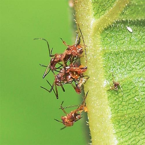 aphid-oleander-disaster13-1