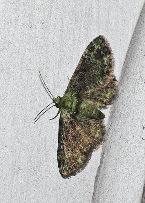 green-pug11-2