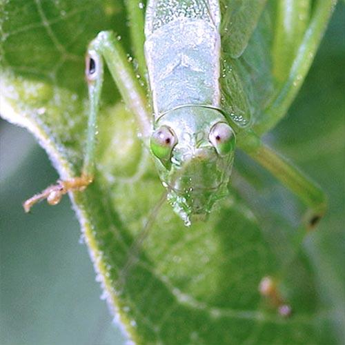 katydid-ears13-9rz