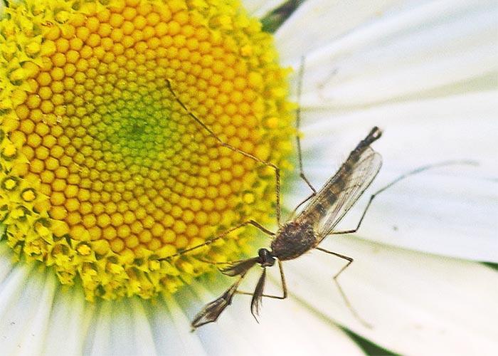 mosquito-m13-7rz