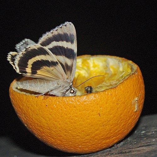 underwing-orange11-12brz