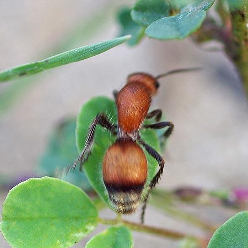 velvet-ant-rnc14-2
