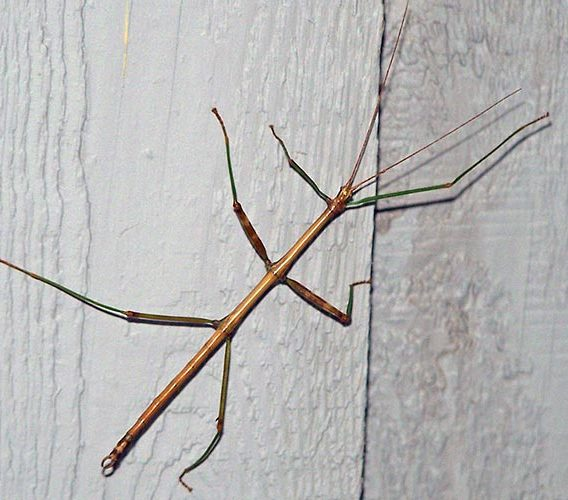 Northern Walkingstick (Family Diapheromeridae) | Field Station