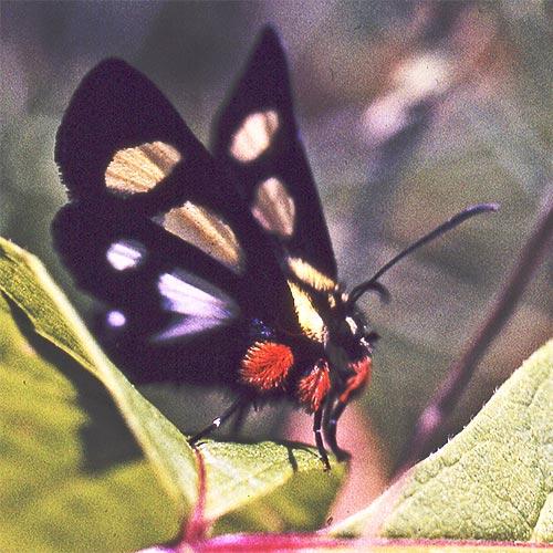 8-spttd-forester-moth-2b-scn