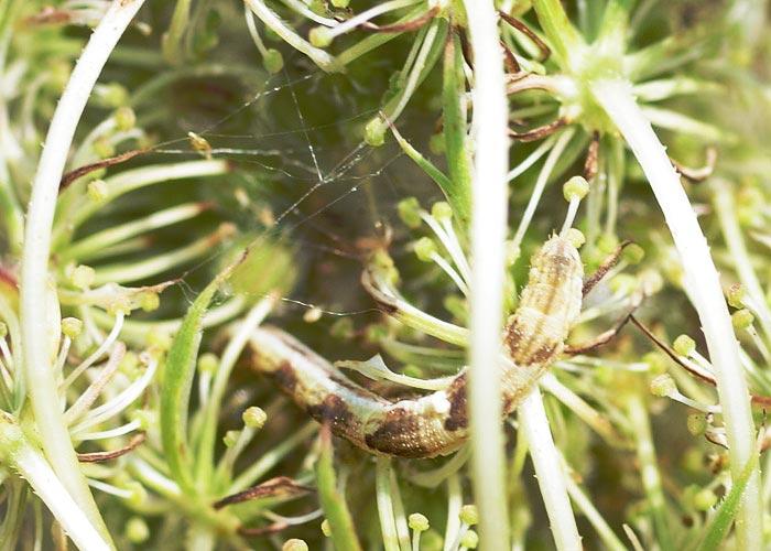 qa-larva-x13-1rz