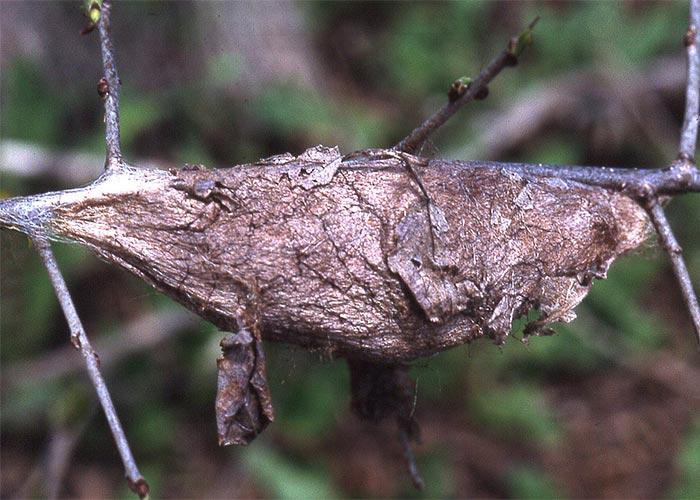 cecropia-coccoon-scnrz