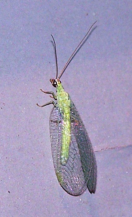 grn-lacewing-5-425