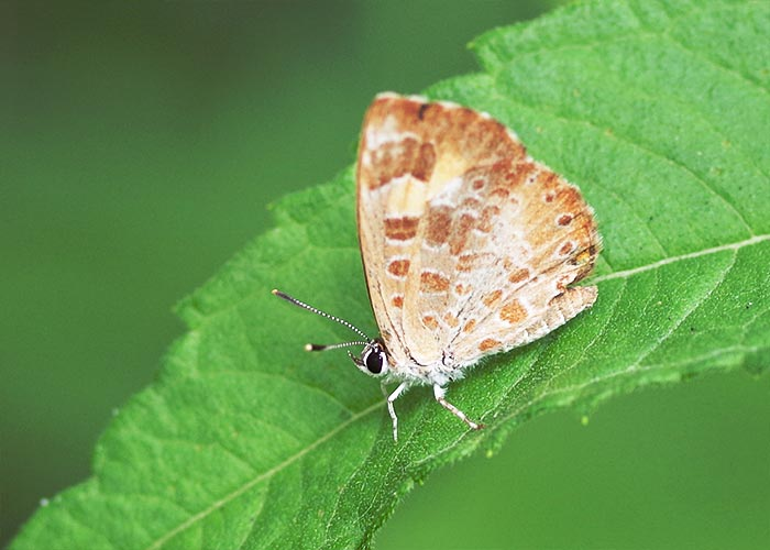 lycaenid butterfly and ants relationship