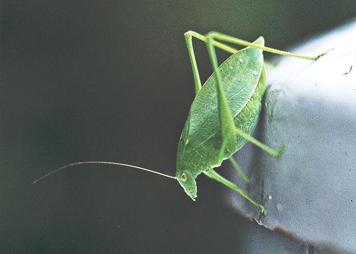 katydid-true-crz