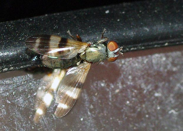 picture-wngd-fly-chaetopsis12-2