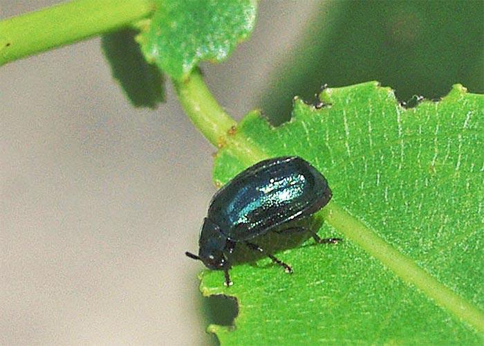 plagiodera11-12b