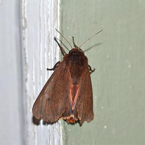 ruby-tiger-moth11-1rz