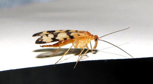 scorpionfly-6
