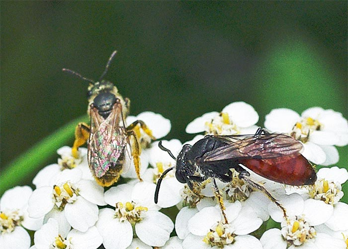 sphecodes-swt-bee-sweat-bee11-6