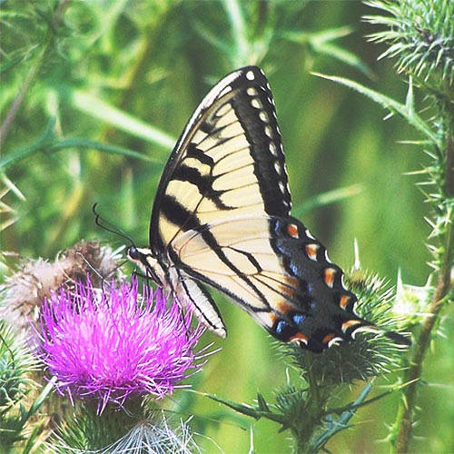 t-swallowtail-27rz
