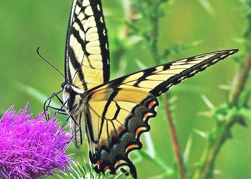 eastern tiger swallowtail butterfly family papilionidae field