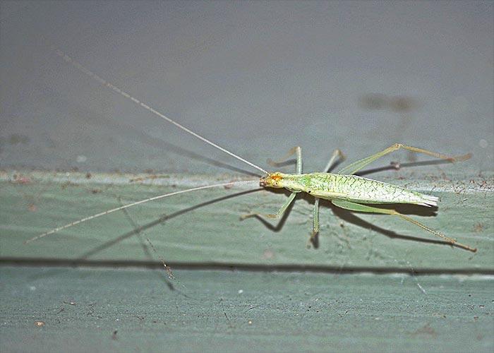 tree-cricket-davis13-11rz